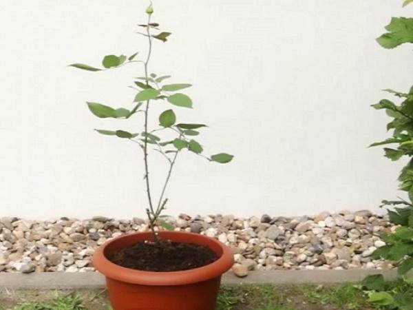 Как вырастить розу в картошке. Действенный метод для пышного куста в будущем
